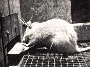 rat and cocaine